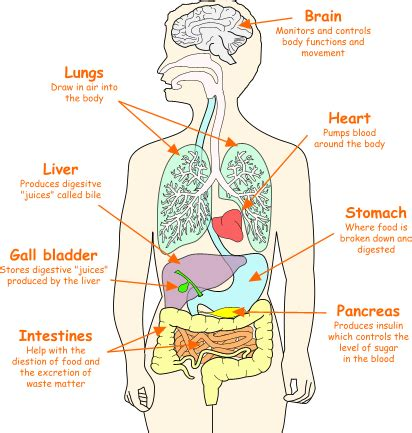 organ locations diagram organs location chart some of the organs in the