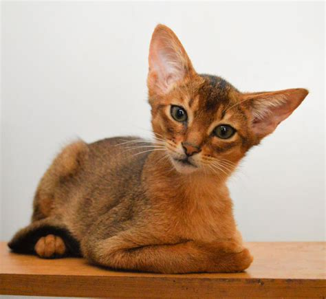 abyssinian kittens for sale abyssinian kittens for sale australia about animals