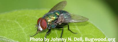 blo fly murda grad student s research on blow flies may help solve