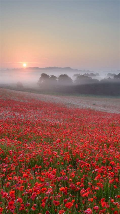 red flowers farm sunrise wallpaper iphone wallpaper