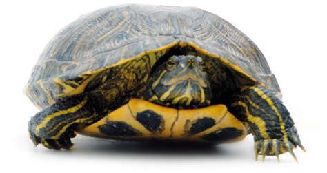 tartarughe in giardino tartarughe in giardino d inverno tartarughe acqua dolce di
