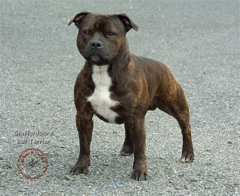 are staffordshire bull terriers pitbulls yahoo answers