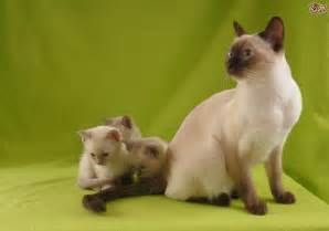 five pedigree cats with siamese origins pets4homes