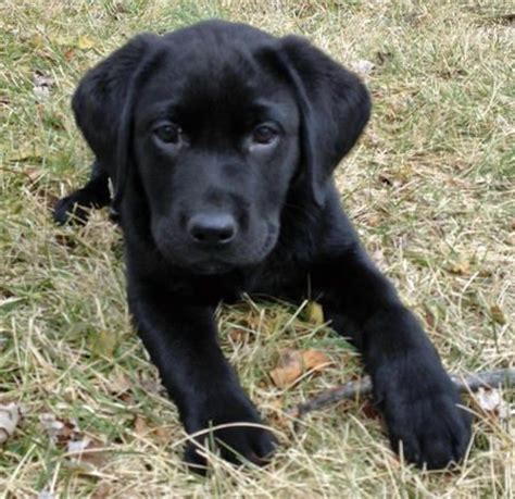 pics of black lab puppies black labrador puppies kidwelly carmarthenshire pets4homes