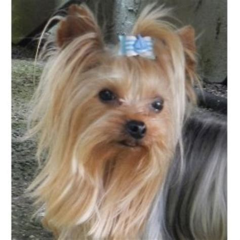 new york yorkie let s talk yorkie terrier breeder in bellmore new york