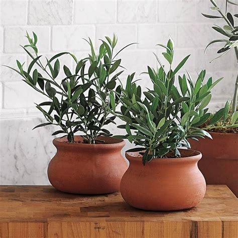 alberi da frutta in vaso olivo in vaso alberi da frutta come coltivare l olivo