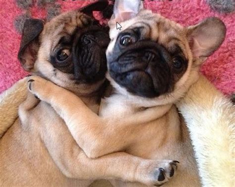 what makes a pug 14 things that make pugs happy