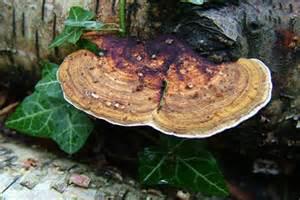 bracket fungi rhs gardening