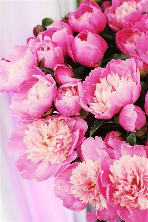 the pink peonies pink peonies chic pink pinterest