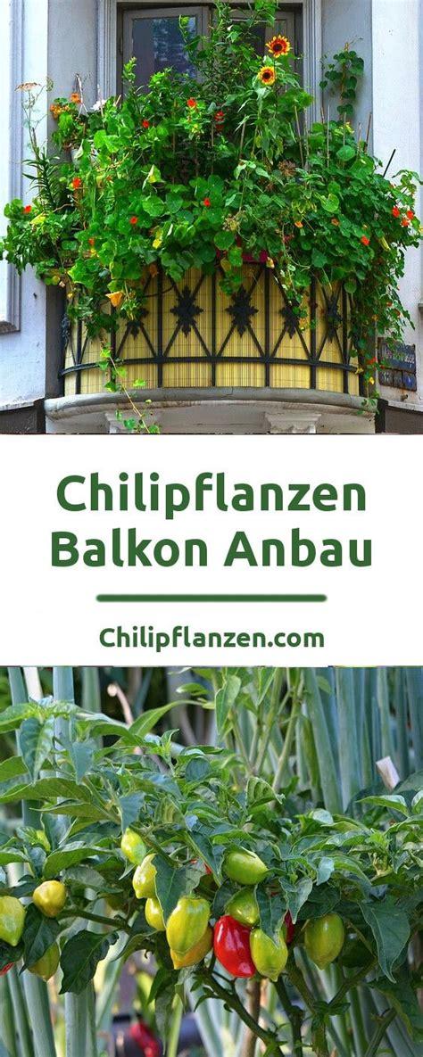 Chili Balkon by Chili Auf Dem Balkon Pflanzen Zimmerpflanzen Balkon