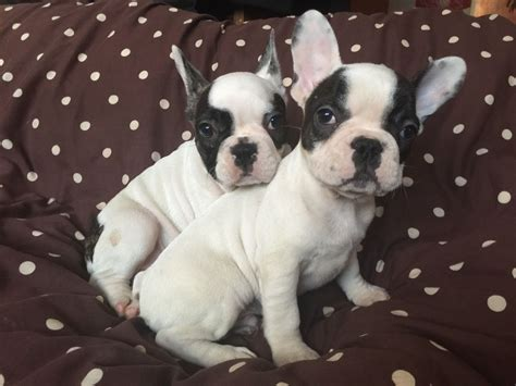 pied bulldog puppies for sale two pied bulldog puppies for sale east pets4homes