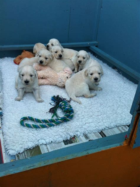 golden retriever puppies for sale in wales beautiful golden retriever puppies welshpool powys