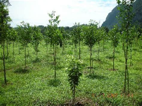 Pohon Kayu Cendana Wangi Ntt 3 Bibit gaharu sumatera