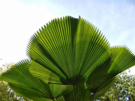 montreal green park ruffled fan palm