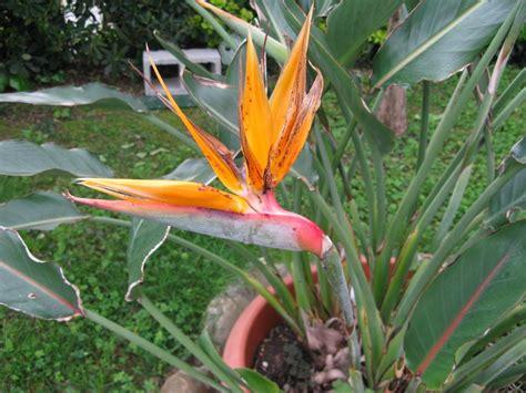 fiore uccelli paradiso strelizia uccello paradiso