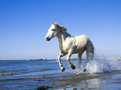 wallpaper horse free download free download high quality white horse horses wallpaper