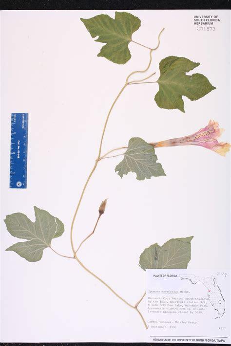 Pinellas Co Records Ipomoea Macrorhiza Species Page Isb Atlas Of Florida