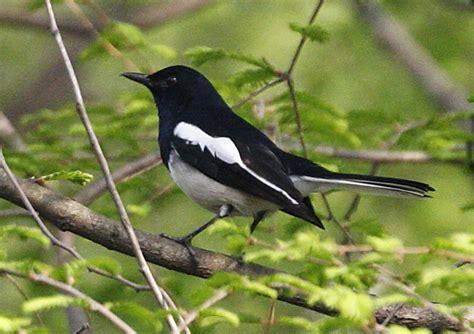 oriental magpie robin birds wiki fandom
