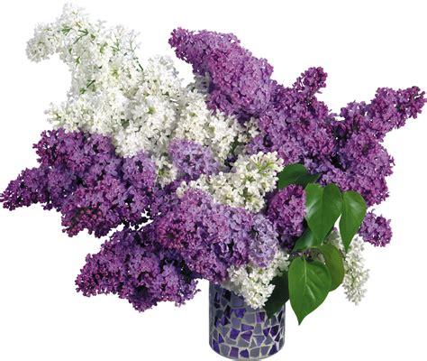 flores png rosas fondos de pantalla y mucho m 225 s flores blancas y lilas png fondos de pantalla y mucho m 225 s