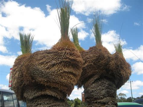 boys tree plantwerkz xanthorrhoea australis grass tree black boy