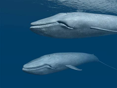 images of whales why are blue whales endangered and why should we be concerned