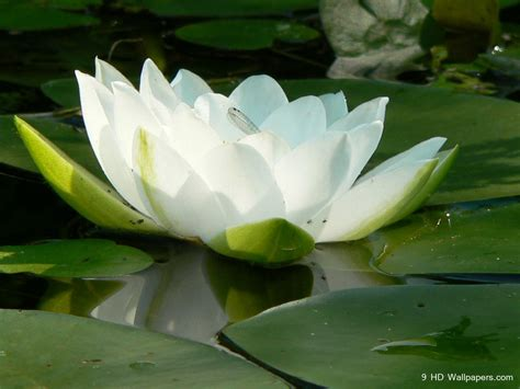 Images Lotus Beautiful Wallpapers Lotus Wallpapers Hd