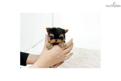 yorkie puppies jackson ms grown yorkie 2 pound breeds picture
