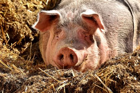 maiali alimentazione come allevare maiali in giardino idee green