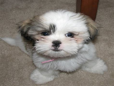 caring for shih tzu puppies lovely pets shih tzu puppies