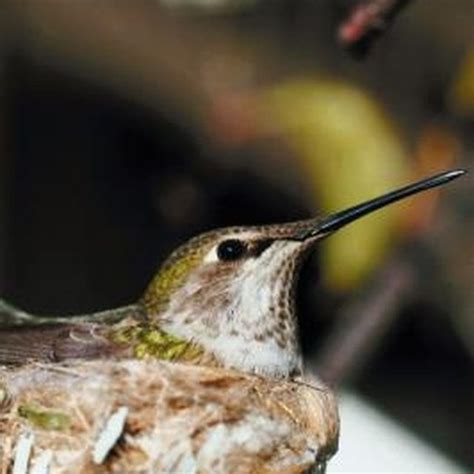 17 best images about humming bird on pinterest the birds