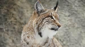 sur la piste du lynx du canada fondation canadienne pour