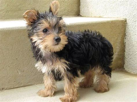 grown yorkie 1000 ideas about teacup yorkie on teacup yorkies for sale yorkie and