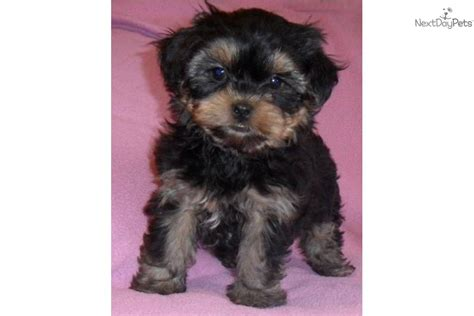 expectancy yorkie poo meet zoey a yorkiepoo yorkie poo puppy for sale for 500 zoey