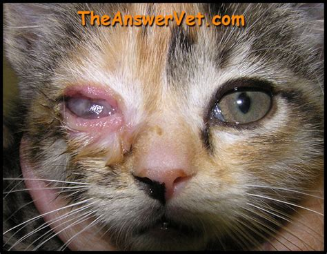herpes infection in cat herpes