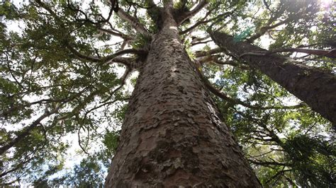 images of trees kauri trees nicky cookie