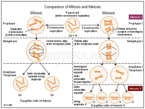 mitosis coloring sheet reading notes diagrams of mitosis google search biology pinterest