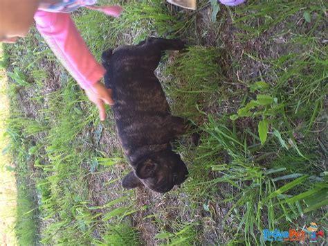 nati in casa bulldog francese nati in casa in vendita a rovigo ro