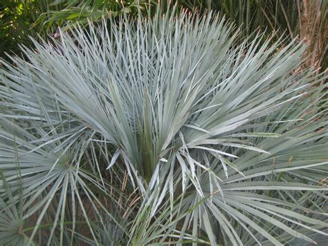 blue mediterranean fan palm for sale how palmdale got its name the smarter gardener