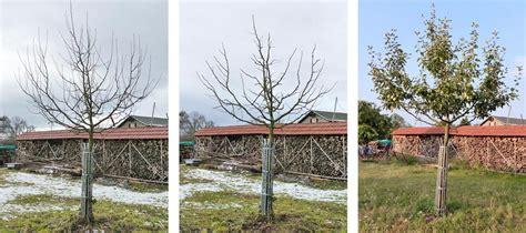 apfelbaum schnitt apfelbaum schneiden obstbaumschnittschule