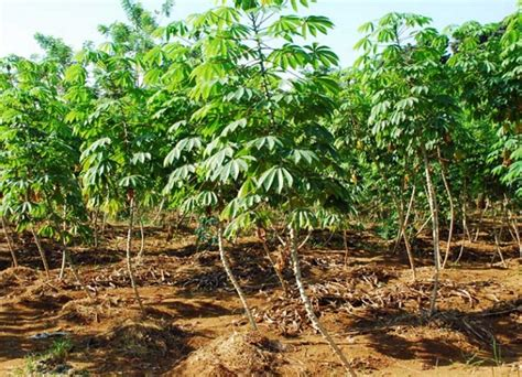 Bibit Ubi Kayu pemprov bantu bibit ubi kayu untuk petani malra warta maluku