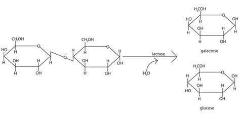 diagram of lactose and lactase reaction diagram and description of lactose lactase reaction