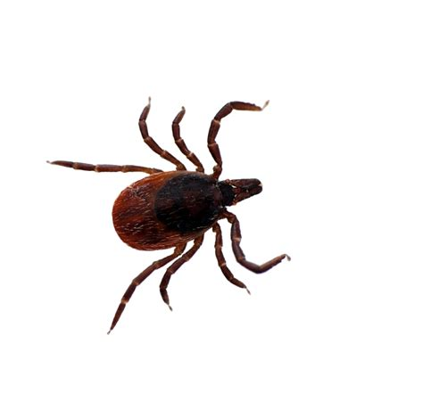 removing tick from removing ticks from pets