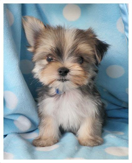 yorkie maltese puppy morkie oh my the cutest maltese and yorkie mix animals