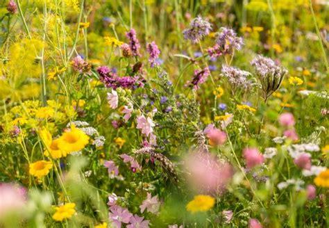 garten gestalten wildblumen bienengarten anlegen obi erkl 228 rt wie es geht