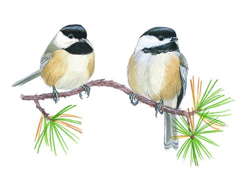 how to identify chickadees 187 bird watcher s digest