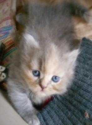 gatti persiani genova favolosi cuccioli persiani genova liguria annunci