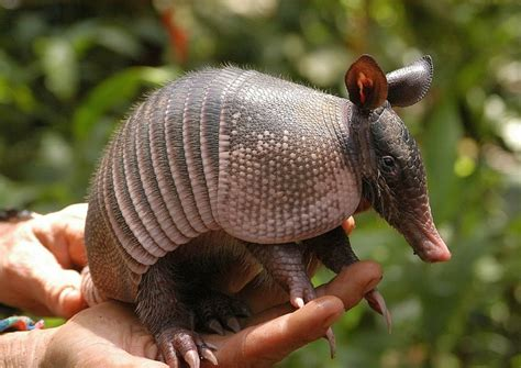 armadillo wallpapers fun animals wiki videos pictures stories