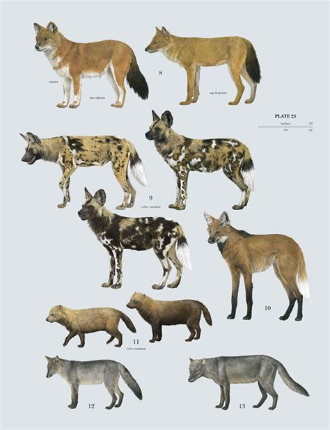 are dogs mammals family canidae dogs lynx edicions
