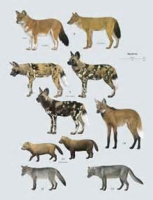 species canine family canidae dogs lynx edicions