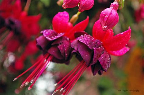 lada fucsia 1000 images about fuchsie on hanging baskets